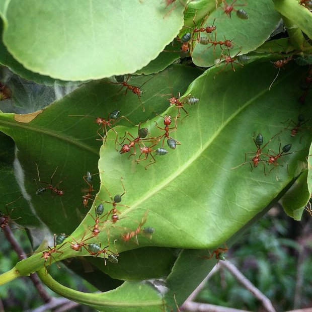 Green ants, Australia, 2015, courtesy of René Redzepi's Instagram