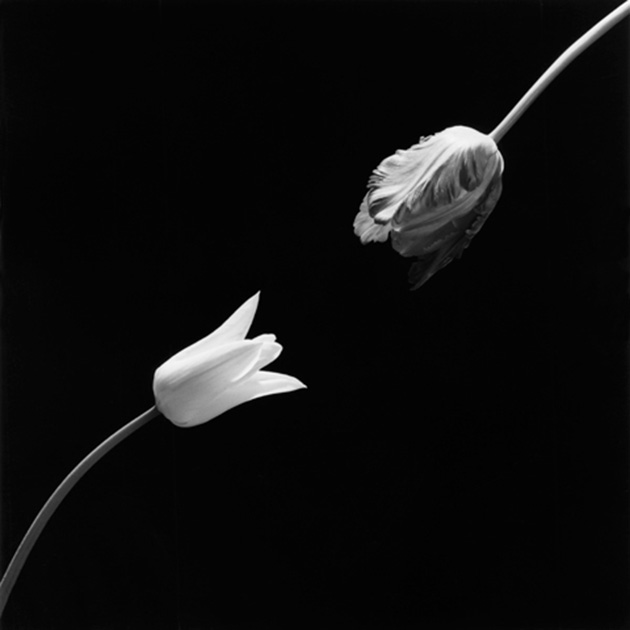 Tulip, 1984, by Robert Mapplethope. Image courtesy of the Robert Mapplethorpe Foundation. © Robert Mapplethorpe